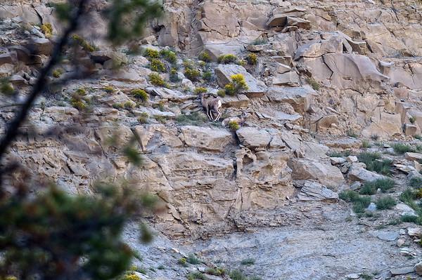 sur la falaise en remontant vers le sud, un troupeau de bighornS
