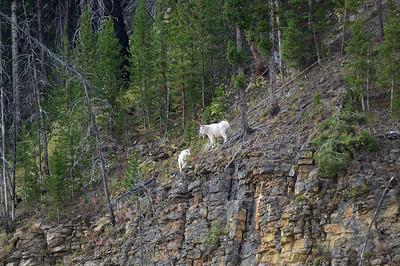 Un peu plus loin, on voit des mountain goats...C'est tellement rare, qu'il aurait fallu les signaler aux gardes du parc...On l'a su apres!