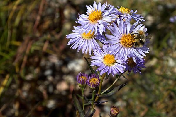 le plus joli de la rando, c'est l'aster et l'abeille