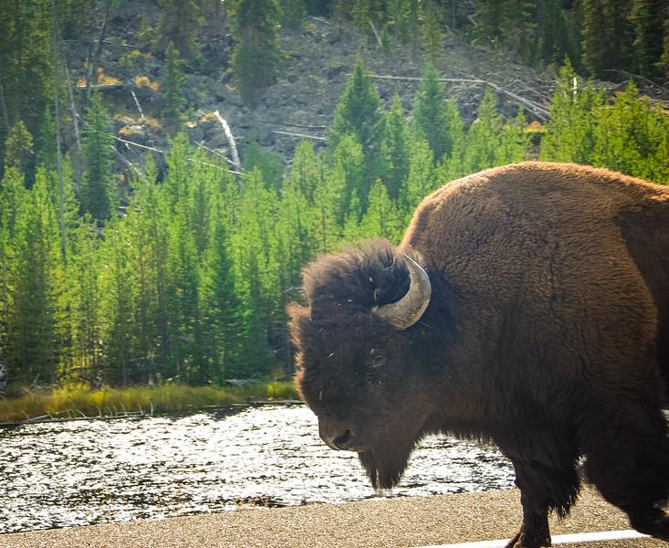 wildlife encounter yellowstone