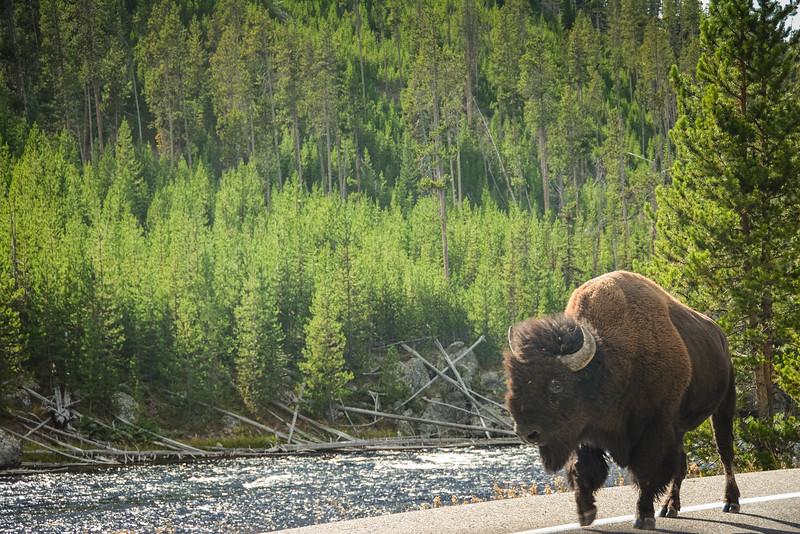 yellowstone wildlife encounters