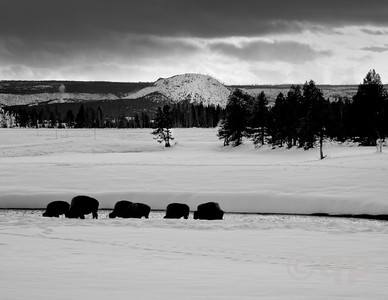 BISON BLACK AND WHITE