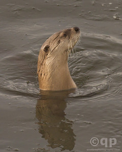 LOOKING OTTER