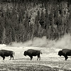 American Bison, Old Faithful,  Yellowstone National Park, Wyoming