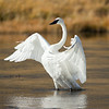 Trumpeter Swan, Madison River, Yellowstone National Park, Wyoming