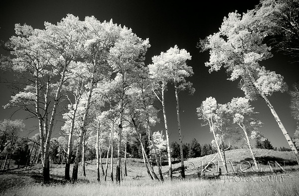 American Aspens, Yellowstone National Park, Wyoming