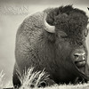 American Bison or Buffalo, Yellowstone National Park, Wyoming