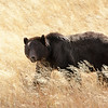 Grizzly Bear, Pelican Valley Trail, Yellowstone National Park, Wyoming