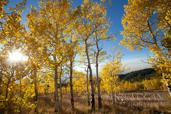 Aspen Trees, Shadow Mountain, Bridger-Teton National Forest, Wyoming