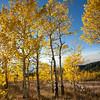 Aspen Trees, Shadow Mountain, Bridger-Teton National Forest, Wyoming