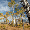 Aspen Trees, Blacktail Plateau, Yellowstone National Park, Wyoming