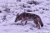 Coyote_0612