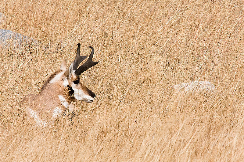 male Pronghorn Antelope in the grasslands, grazing