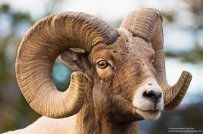 Bigh Horn