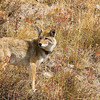 Coyote at Yellowstone National Park, Wyoming, USA