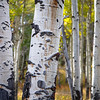 Close up of Aspen tree trunk, autumn, Yellowstone National Park, Wyoming, USA