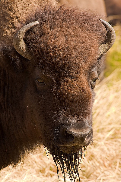 Closeup portrait of Bison grasing and feeding on grass