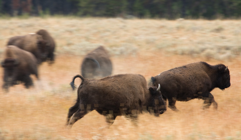 A herd of Bison breaks into a run suddenly