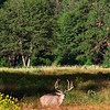 Adult male Mule Deer at the meadows.<br /> Yosemite valley, Yosemite National Park, California, USA.