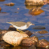 Common sandpiper along the banks of Tuolumne River<br /> Tuolumne Meadows, Yosemite National Park, California, USA.