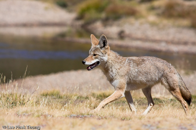 Close encounters with a lone coyote hunting at the meadows.<br /> Tuolumne Meadows, Yosemite National Park, California, USA.