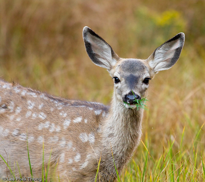 Juvenile Mule deer feeding at the meadows.<br /> Yosemite valley, Yosemite National Park, California, USA.