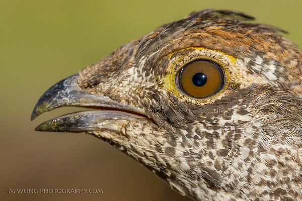 Eye of the grouse, Yosemite National Park