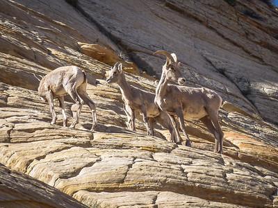 Zion NP: Big Horn Sheep