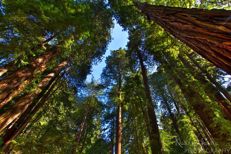 California Coastal Redwoods at Muir Woods