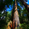 California Coastal Redwood at Muir Woods