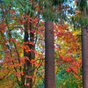 Tall Trees Changing Colors