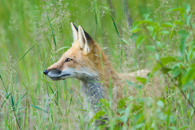 Red fox in grass, Colorado foothills