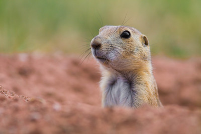 Prairie dog in burrow, Wind Cave National Park