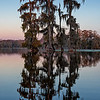 Cypresses on Lake Martin