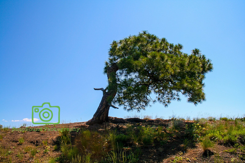 Wind Bent Pine Tree