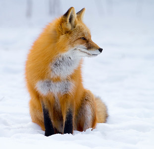 Fox in snow, Colorado foothills