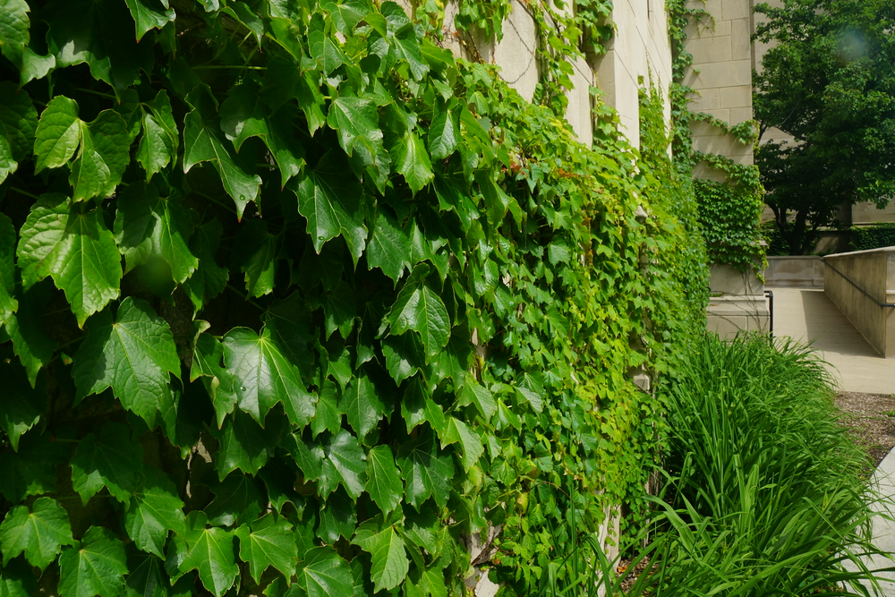 Ivy on a building located on campus at the University of Chicago