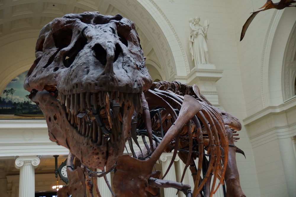T-Rex 'Sue' at the Field Museum in Chicago