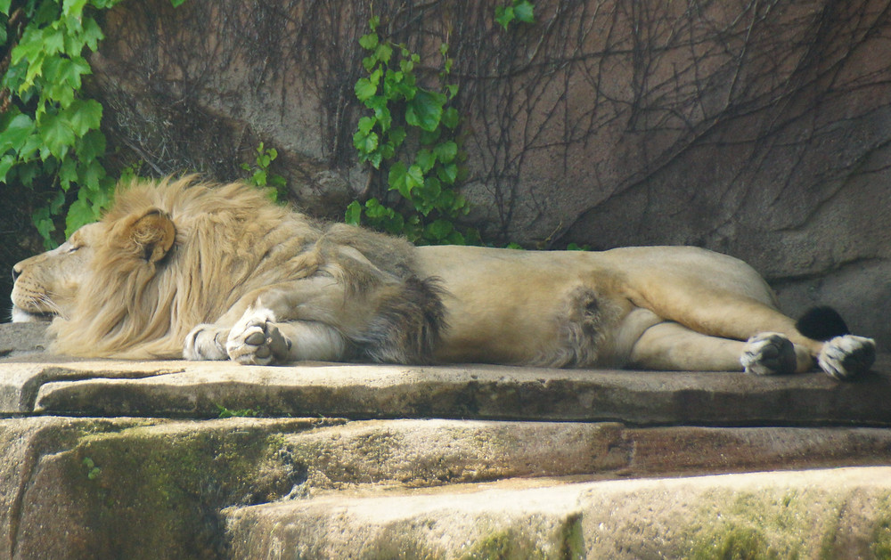 A Lion stretching out to sleep at Lincoln Park Zoo