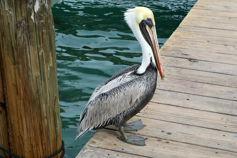 Pelican at Robbie's Marina
