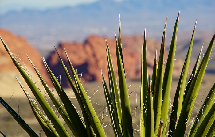 Red Rock Canyon as seen from the perspective of a cactus