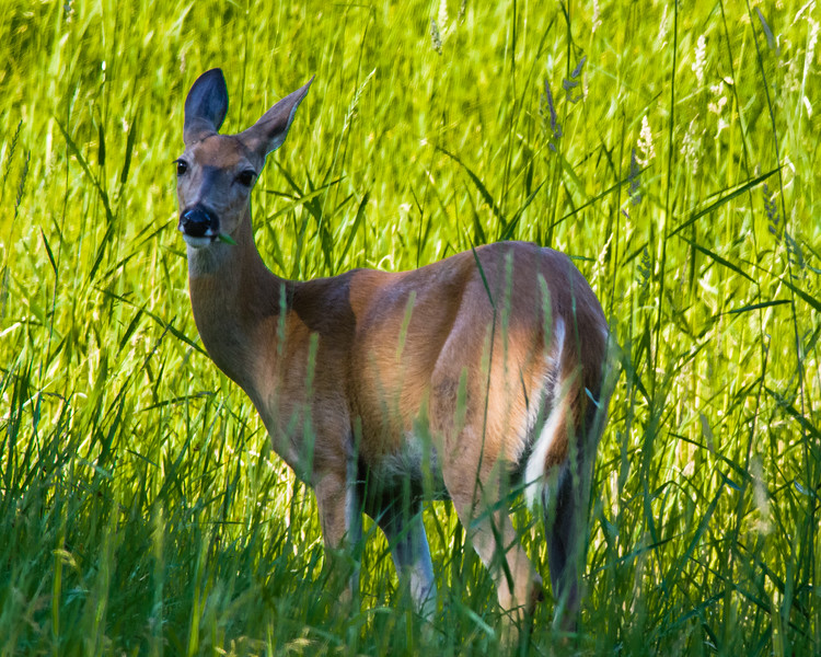 Deer, Female
