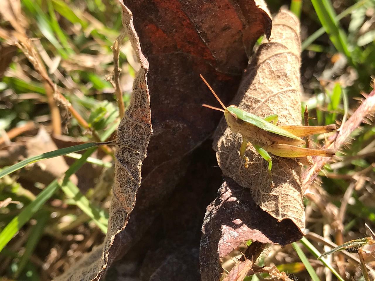 Photogenic & agreeable Louisiana wetlands grasshopper