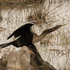 Anhinga - sometimes called snakebird, darter, or water turkey.  The word anhinga comes from the Brazilian Tupi language and means devil bird or snake bird.