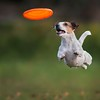 10-hilarious-pictures-of-dogs-catching-frisbees-2