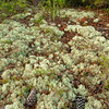 Cladonia moss carpets the forest floor at Flamingo Villas