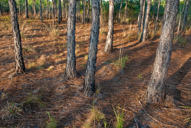 Stands of slash pine are scattered throughout Carter Creeek