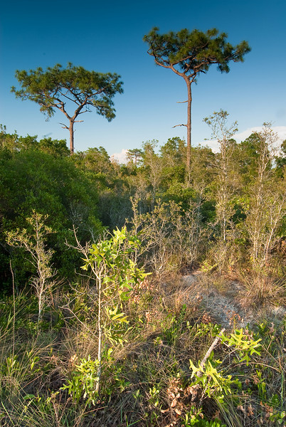 Slash pine and turkey oaks are the dominant vegetation in the sandhill habitat at Carter Creek