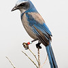 Florida Scrub-Jay on sentinel at Flamingo Villas