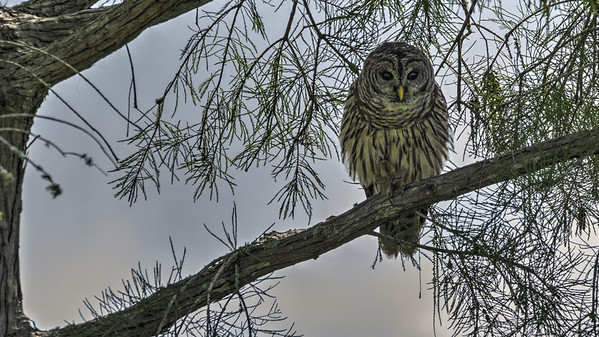 Eastern Barred Owl (Strix varia)